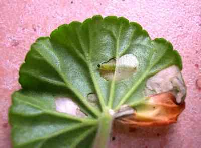 geranium-Caterpillar-at-working