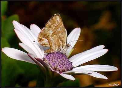 geranium-Geranium Bronze butterfly