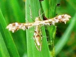 geranium-Geranium plume moth Geranium Moth