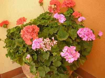 Geranium Moth geranium-Healthy-geranium