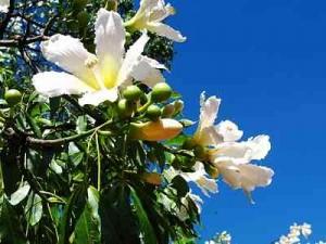 silk-Creamy flowers Silk Floss Trees