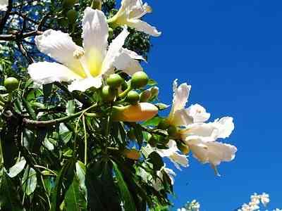 silk-Creamy flowers