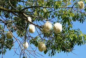 silk-Kapok Silk Floss Trees