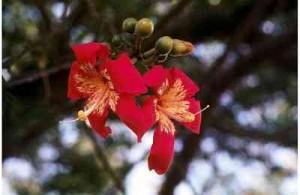 silk-Red flowers Silk Floss Trees