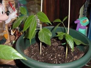 silk-floss-seedlings Silk Floss Trees