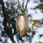 gardening silk-floss-seeds-in-pod