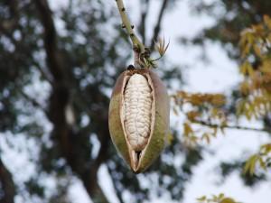 silk-floss-seeds-in-pod Silk Floss Trees