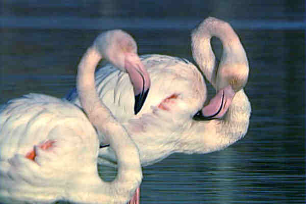 The flamingos at Santa Pola