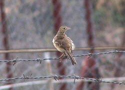 Richards Pipit Santa Pola Natural Park