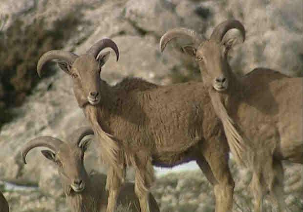 Wild GOATS Regional Park Sierra Espuna
