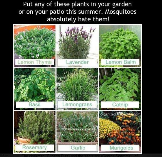 Plant against mosquitoes