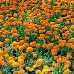 Marigolds Herbal Information