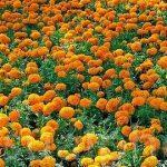 Marigolds Herbal Information