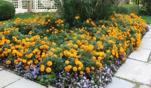 marigolds 2 Marigolds