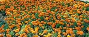 Marigolds Seed Propagation