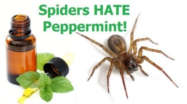 spiders hate mint