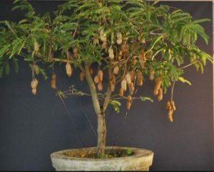 Dwarf Tamarind Tree