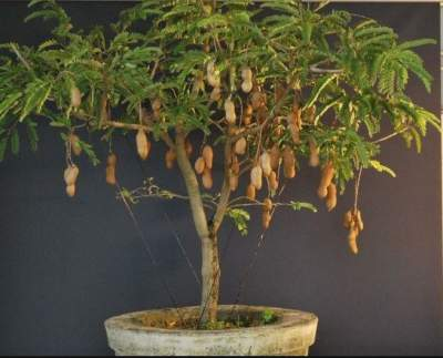 tamarind tree fruit highly rated detoxing usage » spain info, Beautiful flower