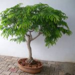 Tamarind seeds Bonsai