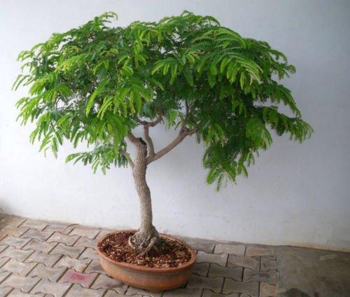 Tamarind seeds Bonsai