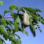Tamarindus indica,leaves pod