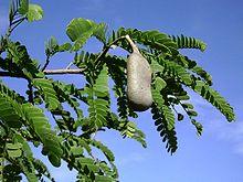 Tamarindus indica,leaves,pod