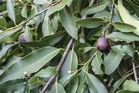 bay tree leaves