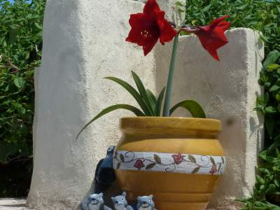 Amaryllis Culture Care Brilliant Flowers Jazzy Colours Spain Info