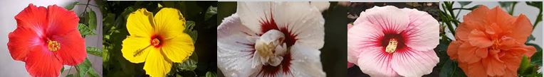 Hibiscus-selection