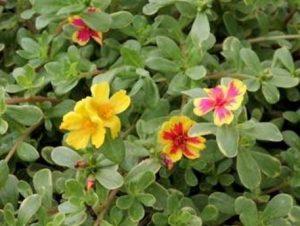 Portulaca-Oleracea Verdolaga