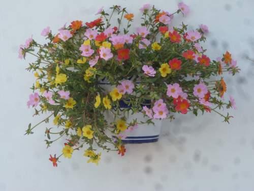 Verdolga-hanging-pot