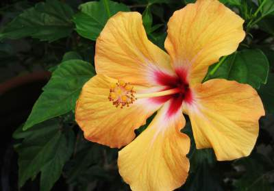 Hibiscus Exotic Beautiful Flowering Plants Spain Info
