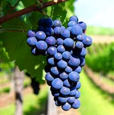 Monastrell-Wine-Grape