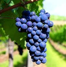 Monastrell-Wine-Grape