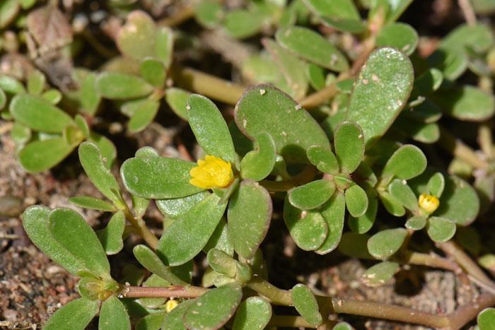 Portulaca-oleracea,