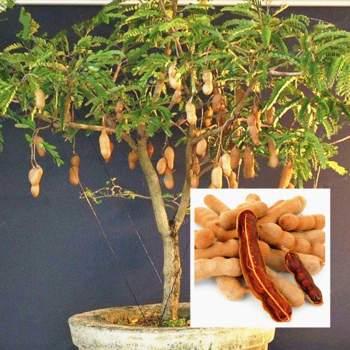 tamerind tree