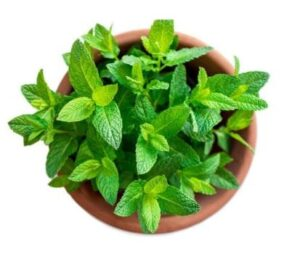 Growing mint on the Balcony