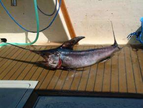 Torrevieja Swordfish