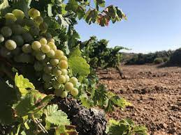 Alpera Wine Ayora Valley